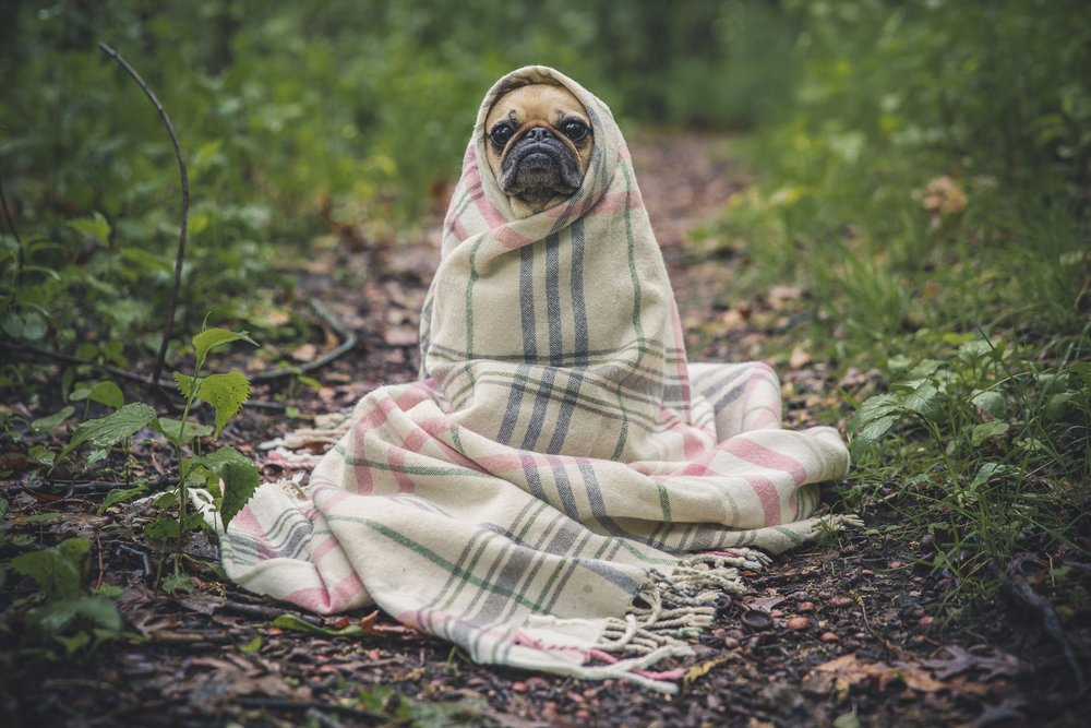 This is Michael the pug. He spends his weekends reading tarot cards and playing the tambourine in a blues band.